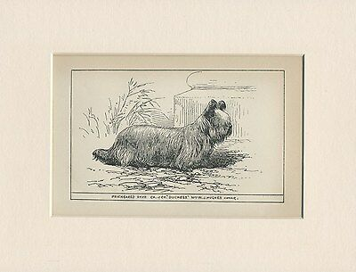 Prickeared Skye Terrier Antique 1900 Engraving Named Dog Print Ready Mounted