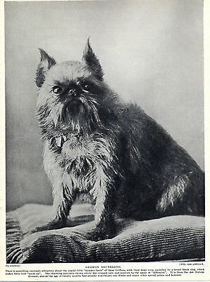 Brussels Griffon Seated Named Dog Old Original Dog Print Page From 1934