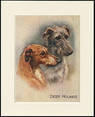 Scottish Deerhound Lovely Dog Head Study Print Two Dogs Mounted Ready To Frame