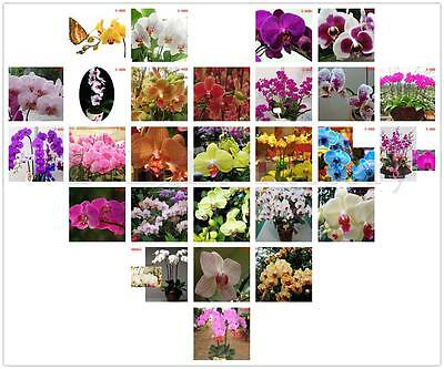 20x Home Garden Phalaenopsis Amabilis Butterfly Moth Orchid Bonsai Flower Seeds