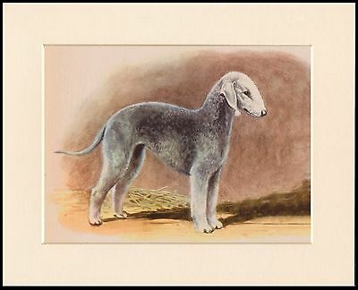 Bedlington Terrier Charming Dog Print Mounted Ready To Frame