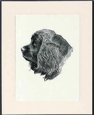 Sussex Spaniel Old Dog Head Study Print From 1935 Mounted Ready To Frame