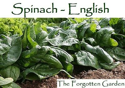 Spinach English Seed 25 Seeds Heirloom Vegetable Garden