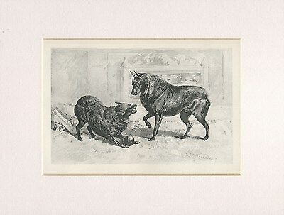 Schipperke Dogs Rare 1894 Mounted Antique Dog Print By Arthur Wardle