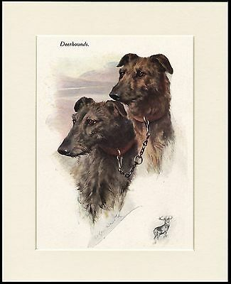 Scottish Deerhound Head Study Two Dogs Lovely Dog Print Mounted Ready To Frame