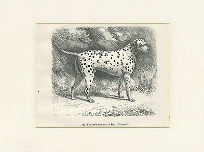 Dalmatian Antique 1878 Named Dog Print Engraving Ready Mounted