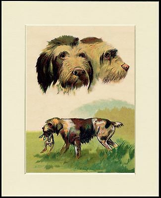 Italian Spinone Lovely Dog Print Mounted Ready To Frame
