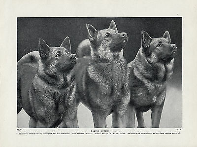 Norwegian Elkhound Three Named Dogs Old Original Dog Print Page From 1934
