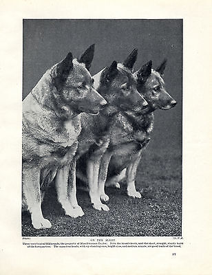 Norwegian Elkhound Three Seated Dogs Old Original Dog Print Page From 1934