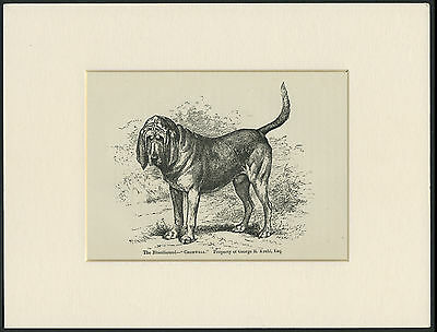Bloodhound Rare Old Antique Named Dog Engraving / Print Mounted Ready To Frame