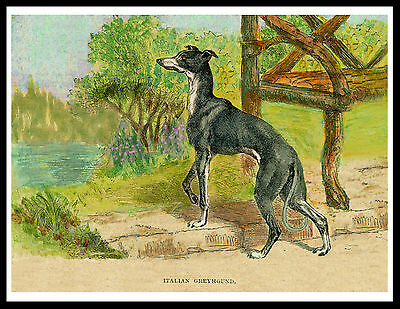 Italian Greyhound In Country Garden Lovely Vintage Style Dog Print Poster