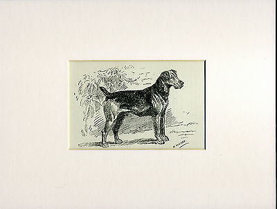 Airedale Terrier Rare Old Antique Dog Print Engraving From 1915 Ready Mounted