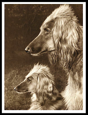 Afghan Hound Head Study Two Dogs Lovely Vintage Style Dog Art Print Poster