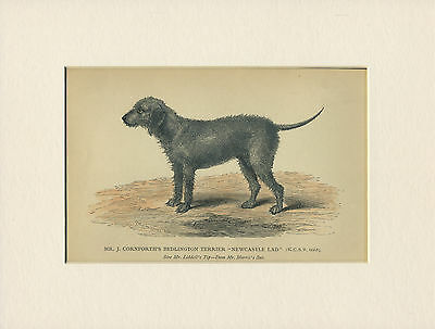 Bedlington Terrier Rare Antique Named Dog Print From 1882 Ready Mounted