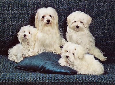 Maltese Charming Dog Greetings Note Card Four Beautiful Dogs On Blue Cushion