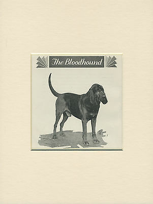 Bloodhound Rare Old 1930's Dog Print Ready Mounted