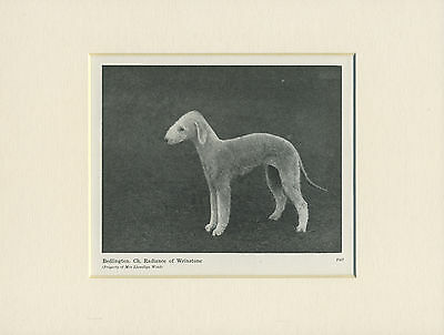 Bedlington Terrier Old Named Dog Print From 1948 Ready Mounted