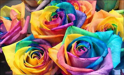 50 semi ROSA RAINBOW - rarissima seeds
