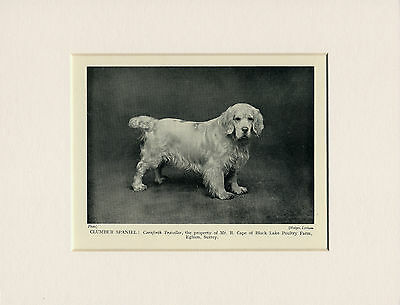 Clumber Spaniel Original Old 1931 Named Dog Print Mounted Ready To Frame