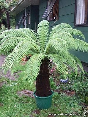 Hardy Golden Tree Fern (Dicksonia Fibrosa) - 25+ Fresh Spore (seeds)