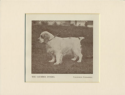 Clumber Spaniel Standing Dog Old 1930's Named Dog Print Mounted Ready To Frame
