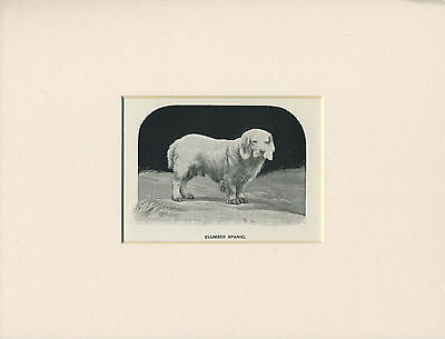 Clumber Spaniel Old Antique 1912 Little Dog Print Mounted Ready To Frame