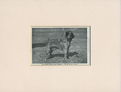 BRUSSELS GRIFFON 1960's NAMED CHAMPION DOG LITTLE PRINT MOUNTED READY TO FRAME