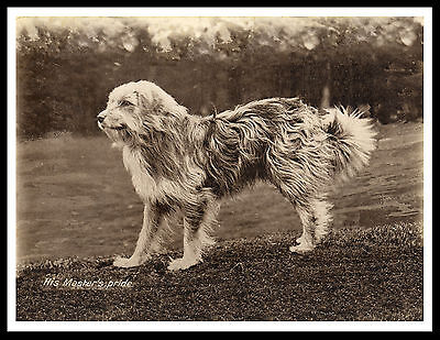 Bearded Collie Sheepdog Great Vintage Style Dog Print Poster