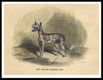 Chinese Crested Old Type Dog Lovely Vintage Style Dog Print Poster