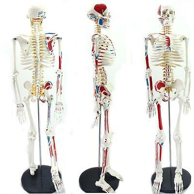 New 85cm Human Anatomical Anatomy Skeleton Medical Teaching Model Muscle +Stand