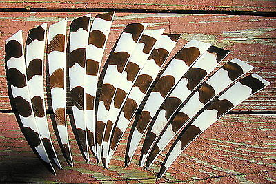 """AMG BARRED Pattern Shield Cut RIGHT Wing 5"""" Feathers - New Dozen - NEW ITEM!"""