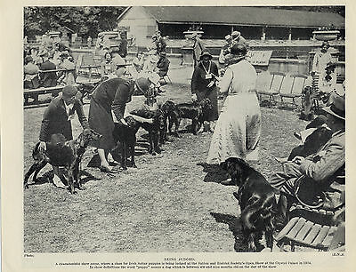 Irish Setter Winning Dogs And Owners At Dog Show Old Original Print From 1934
