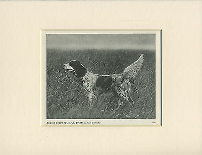 English Setter Old 1940's Named Champion Dog Print Mounted Ready To Frame