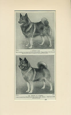 NORWEGIAN ELKHOUND TWO DOGS OLD 1930's DOG PRINT MOUNTED READY TO FRAME