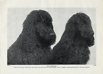 Irish Water Spaniel Two Named Champion Dogs Old Original 1930'S Dog Print