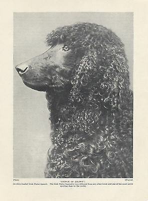Irish Water Spaniel Named Dog Head Study Old Original Dog Print From 1934