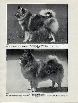 Keeshond Two Named Champion Dogs Old Original Dog Print From 1934