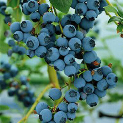 Blueberry Bluecrop large fruit heavy cropping mid season variety 9cm