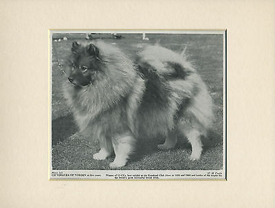 Keeshond Old 1960's Named Champion Dog Print Mounted Ready To Frame