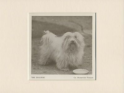 Maltese Named Champion Dog Old 1930's Print Mounted Ready To Frame