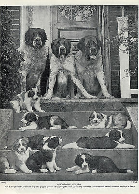 Saint Bernard Dogs And Puppies On Steps Lovely Old Original 1934 Dog Print