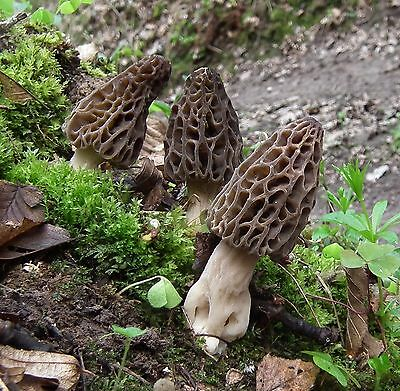 15 g Fresh BLACK MOREL Morchella conica Mycelium Buy Mushroom Spawn Spores Seeds