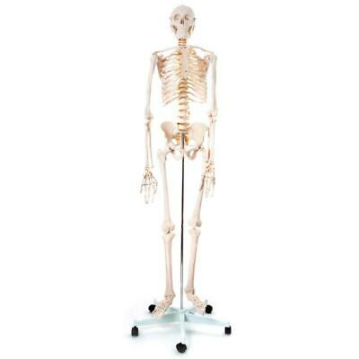 66fit Human Skeleton On Stand - 170cm - Anatomical Medical Training Model Aid