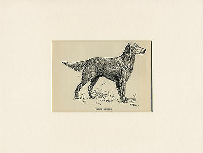 IRISH SETTER LOVELY LITTLE ANTIQUE DOG PRINT FROM 1912 by WARDLE READY MOUNTED