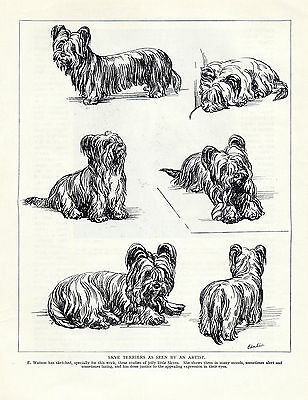 Skye Terrier Dogs Sketched In Various Poses Lovely 1934 Dog Print