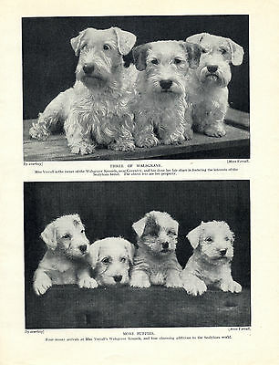 Sealyham Terrier Dogs And Puppies Lovely Old 1934 Dog Print
