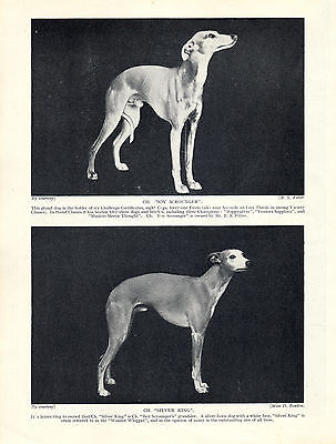 Whippet Two Named Champion Dogs Lovely Old 1934 Dog Print