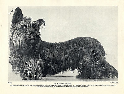 Skye Terrier Image Of An Austrian Dog Old 1934 Dog Print