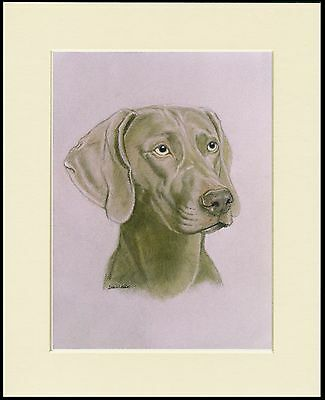 Weimaraner Lovely Head Study Dog Print Mounted Ready To Frame