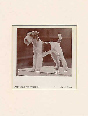 Wire Fox Terrier Named Champion Dog 1934 Print Mounted Ready To Frame